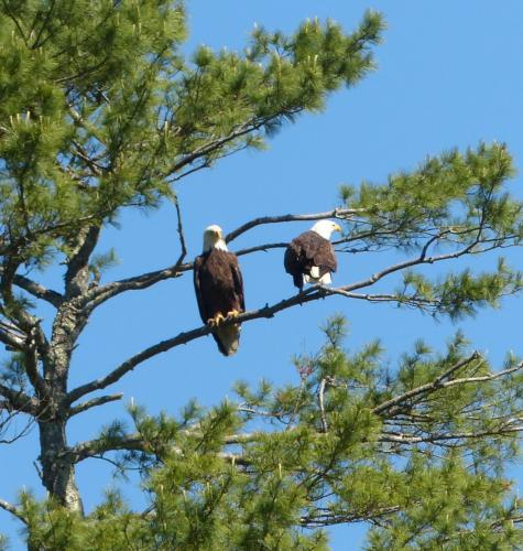 Two eagles against a bright blue sky!