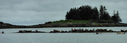 Seals on a Scenic Maine Caost boat trip with Maine Outdoors